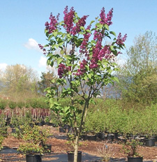 Our Tree Lilacs Are Flowering Now We Have Syringa V Charles Joly Double Purple Red Ludwig Speath Single Dark Madame