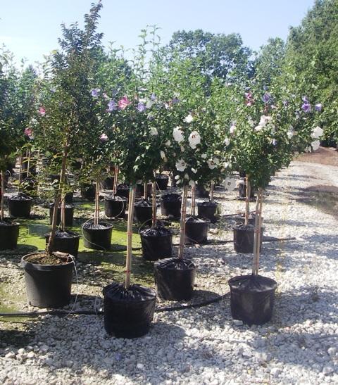 Specimen Trees Wholesale Nurseries Pitt Meadows Bc